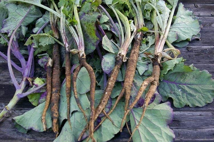 burdock-root-cay-nguu-bang